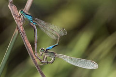 Mating Dragonfly. On a blant Stock Photography