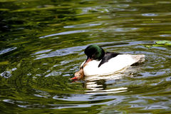 Mating Duck Couple stock photo