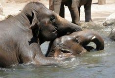 Mating elephants royalty free stock photo