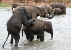 Mating elephants. Two elephants try to mate or are playing in streaming water Stock Photo