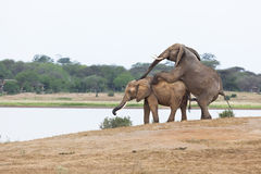 Mating Elephants At Lake Royalty Free Stock Photography