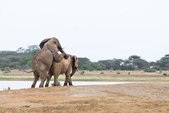 Mating Elephants At Lake Royalty Free Stock Photos