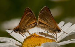 Mating European Skippers Stock Images