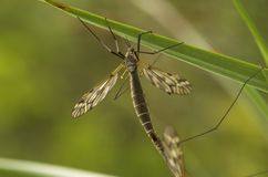 Mating Female Cranefly. A mating female cranefly on a grass straw Royalty Free Stock Photos