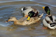 Mating female and male mallards Anas platyrhynchos on the water`s surface. In a sunny day Stock Photo