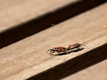 Mating firebugs. Two Pyrrhocoris apterus on wooden boards Royalty Free Stock Images