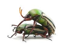 Free Mating Flamboyant Flower Beetles Stock Photo - 25516830
