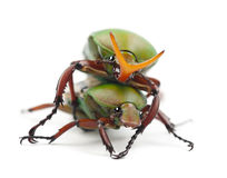 Mating Flamboyant Flower Beetles Stock Photo
