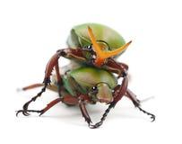 Free Mating Flamboyant Flower Beetles Stock Photo - 26424770