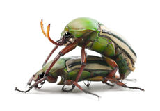 Mating Flamboyant Flower Beetles Royalty Free Stock Photography