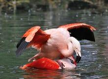 Mating Flamingos. The couple of mating flamingos Royalty Free Stock Photo