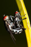 Mating Flies Royalty Free Stock Photo