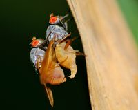 Mating Flies Stock Photos