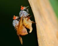 Mating Flies Stock Photos