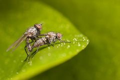 Mating flies close-up Stock Images