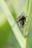 Mating flies Royalty Free Stock Images