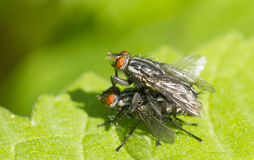 Mating Flies Stock Photography