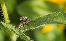 Mating flies Stock Photo