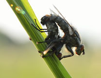 Mating of a flies Royalty Free Stock Photography
