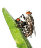 Mating fly insect isolated Royalty Free Stock Images