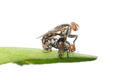 Mating fly insect isolated Stock Photo