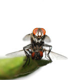 Mating fly insect isolated Stock Photography