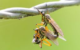 Mating fly - roman style Stock Image