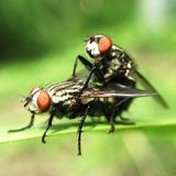 Mating flys Stock Photos