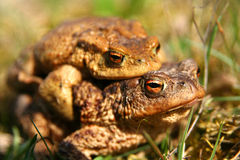 Mating Frogs. Frogs having sex in the mating season Stock Image