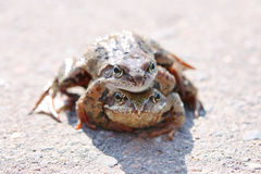 Mating frogs. Frogs mate on the pavement on a sunny day Royalty Free Stock Images