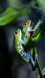Mating Frogs. A macro shot of a pair of mating Red-Eyed Tree Frogs (Agalychnis callidryas) climbing to a leaf to lay their eggs royalty free stock photography