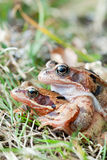 Mating frogs Royalty Free Stock Image