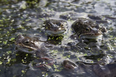 Mating frogs. In a pond with spawn Stock Images
