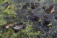 Mating frogs. In garden pond Royalty Free Stock Images