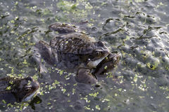 Mating frogs. In garden pond with spawn Royalty Free Stock Photos