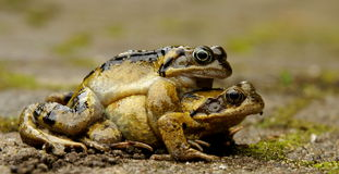 Mating frogs Royalty Free Stock Photo