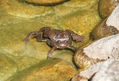 Mating frogs. Couple of mating frogs of genus Rana in the pool of water royalty free stock photo