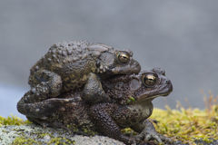 Mating frogs sitting on moss. Royalty Free Stock Image