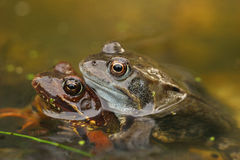 Mating frogs in the water Stock Photography