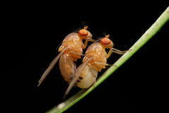 Mating fruit flies Stock Photo