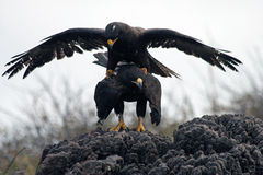 Mating Galapagos Hawks Stock Images