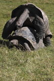 Mating galapagos tortoises Royalty Free Stock Photos