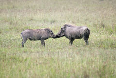 Mating games of a male and female warthog. Kenya Royalty Free Stock Photos