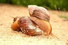 Mating Garden snails early morning Royalty Free Stock Photos