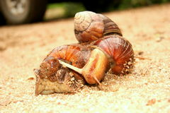 Mating Garden snails Royalty Free Stock Images