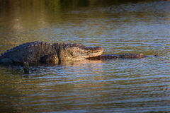 Mating gators at sunset Stock Photo
