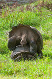 Mating Giant Tortoises Stock Photos