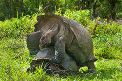 Mating Giant Tortoises Stock Photo