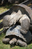 Mating gigant tortoises Stock Photo
