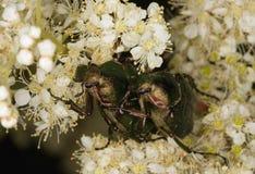 Mating Gnorimus nobilis royalty free stock photography